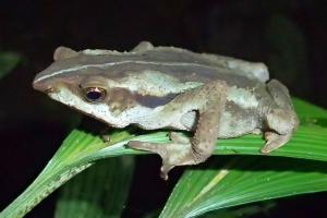 Rhinella lilyrodriguezae_photo_by_K_Tasker